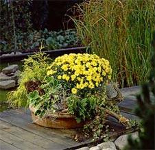 chrysanthemen f r einen leuchtenden herbst. Black Bedroom Furniture Sets. Home Design Ideas