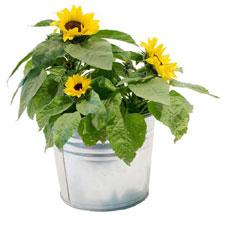 sonnenblumen im topf sonnenblume im topf sonnenblume im topf ziehen so gelingt 39 s. Black Bedroom Furniture Sets. Home Design Ideas