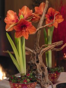 amaryllis und begonien als geschenk zu weihnachten. Black Bedroom Furniture Sets. Home Design Ideas