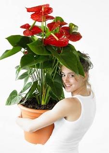 flamingoblume anthurie mit gl nzend roten bl ttern f r. Black Bedroom Furniture Sets. Home Design Ideas