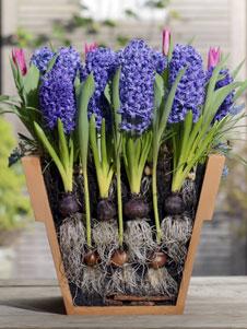 blumenzwiebeln auf kleinstem raum tulpen hyazinthen und krokusse. Black Bedroom Furniture Sets. Home Design Ideas