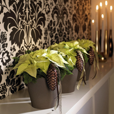 weihnachtssterne tipps zur richtigen pflege f r volle. Black Bedroom Furniture Sets. Home Design Ideas